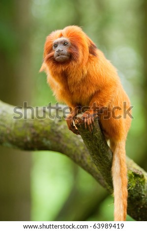 cute golden lion tamarin (Leontopithecus rosalia) - stock photo
