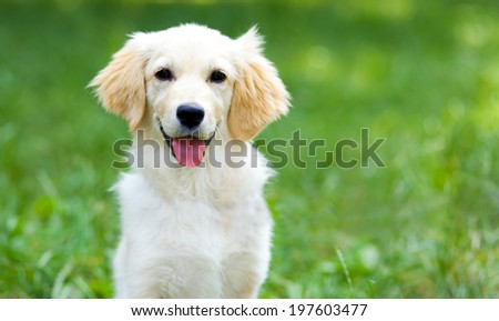 Cute golden retriever puppy - stock photo