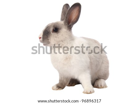 Cute gray and white bunny rabbit isolated on white background - stock photo