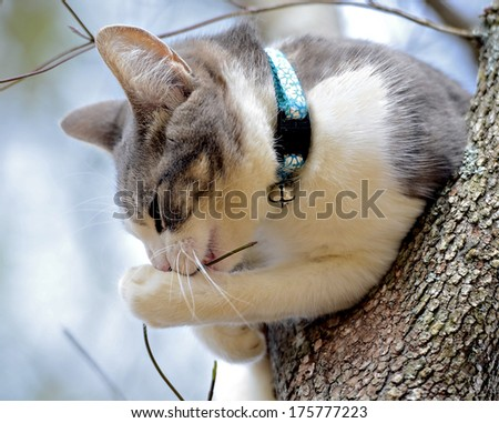 Cute gray and white kitten playing in a tree. - stock photo