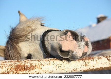 Cute gray shetland pony portrait smiling - stock photo