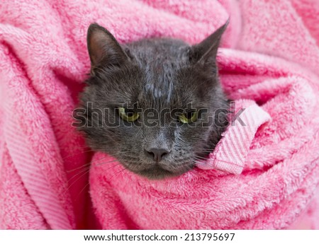 Cute gray soggy cat after a bath, drying off with a pink towel - stock photo