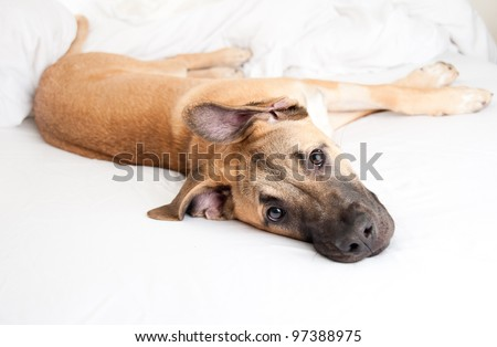 Cute Great Dane Puppy Sleeping in Owner's Bed - stock photo