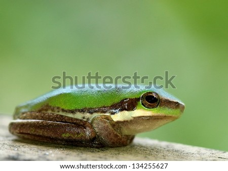 Cute green tree frog - stock photo