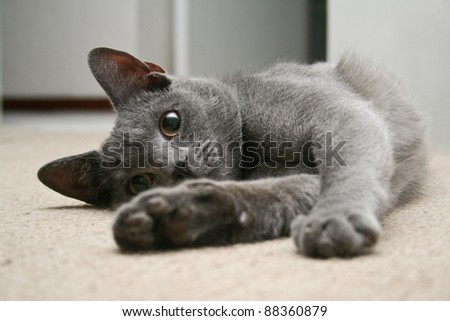 Cute grey kitten lying on it's side - stock photo