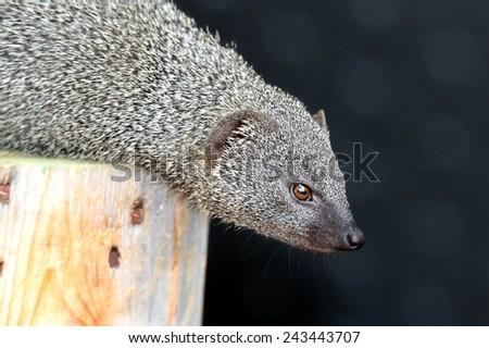 Cute grey mongoose animal on top of a tree stump - stock photo