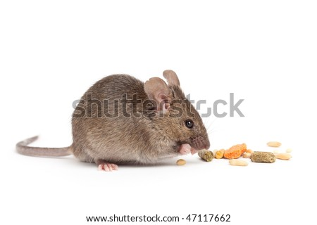 cute grey mouse eating isolated on white background - stock photo