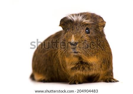 Cute Guinea Pig - stock photo
