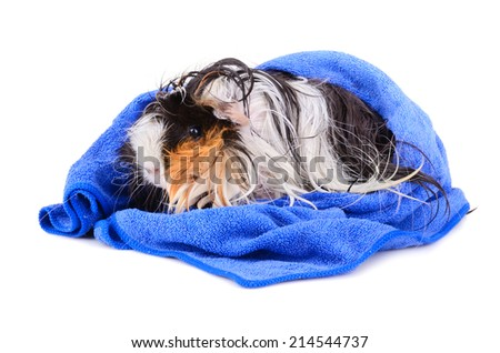 Cute guinea pig after bath in blue towel sitting on a white background - stock photo