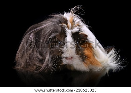 Cute guinea pig on a black background - stock photo