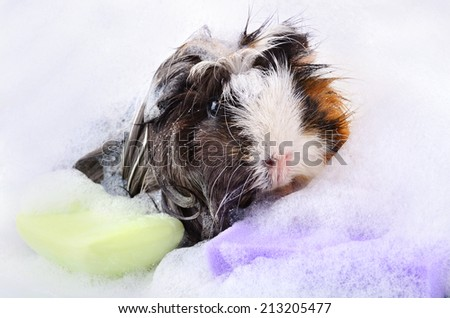 Cute guinea pig taking a bath in a soap foam on white background - stock photo