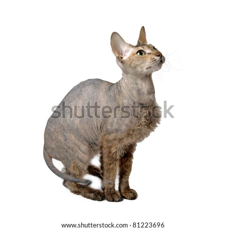 cute hairless oriental cat isolated on white - stock photo