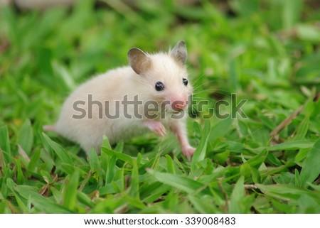 Cute Hamster rat in grass - stock photo