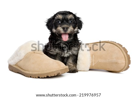 Cute happy havanese puppy dog is sitting next to the owner's slippers, the owner has arrived, isolated on white background - stock photo