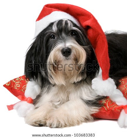 Cute havanese puppy dog with Santa hat lying on red cushion. Isolated on a white background - stock photo