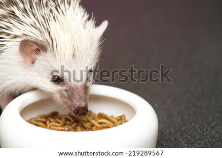 cute hedgehog baby eat worms - stock photo