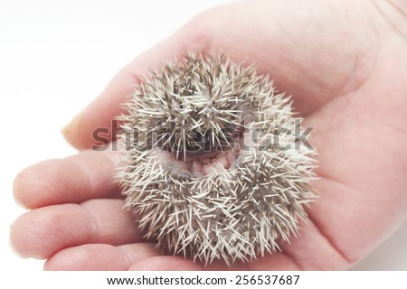 cute hedgehog baby in roll background - stock photo