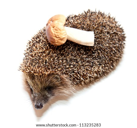 Cute hedgehog carrying mushroom - isolated on white, closeup studio shot - stock photo