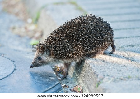Cute hedgehog trying to pass through the street. - stock photo