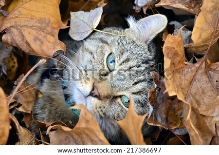 Cute Highland Lynx cat hiding in the autumn leaves. - stock photo