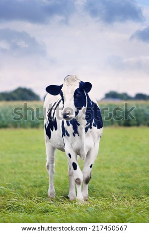 Cute Holstein-Frisian calf in a green Dutch meadow with a corn field on the background.  - stock photo