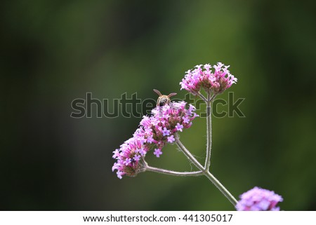 Cute Honey Bee collecting Pollen from Pink Flowers - stock photo
