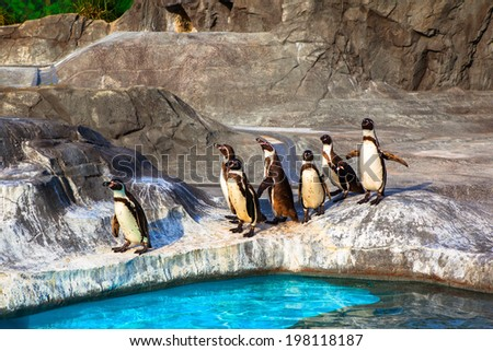 Cute Humboldt Penguins (Spheniscus Humboldt) in a zoo, Japan - stock photo