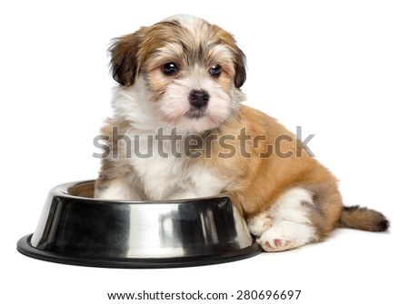 Cute hungry Bichon Havanese puppy dog is sitting next to a metal food bowl and waiting for feeding - isolated on white background - stock photo