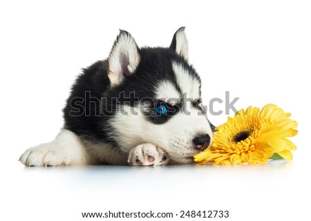 Cute husky puppy with flower - stock photo