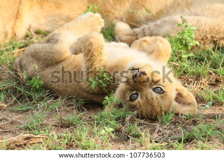 cute image of a lion cub on its back and looking in to the camera - stock photo