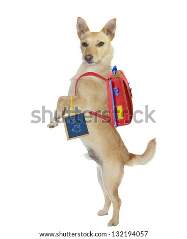 Cute, intelligent, golden jack russel terrier standing up on his hind legs wearing a backpack and holding a chalkboard with a hand drawn sign as he wants to go to the dog obedience school. - stock photo