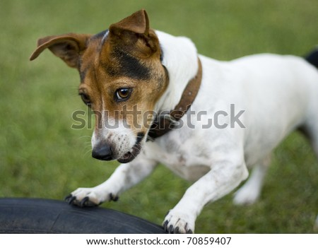 Cute jack russel dog playing in a garden - stock photo
