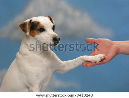Cute Jack Russell Dog shaking hands with person - stock photo