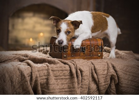 cute Jack Russell Terrier - stock photo