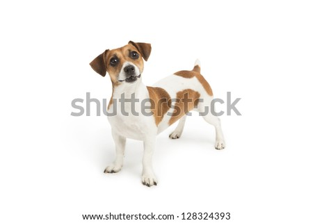 Cute Jack Russell Terrier dog looking up at the camera with surprise on a white background. Studio shot. Cute puppy. - stock photo