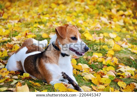 Cute jack russell terrier, dog with a stick on a background of autumn leaves - stock photo