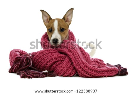Cute Jack Russell Terrier dog wrapped up wearing a pink knitted scarf isolated on a white background - stock photo