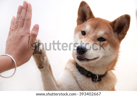 cute japanese dog give hi-five for buddy greeting symbol, on white background - stock photo