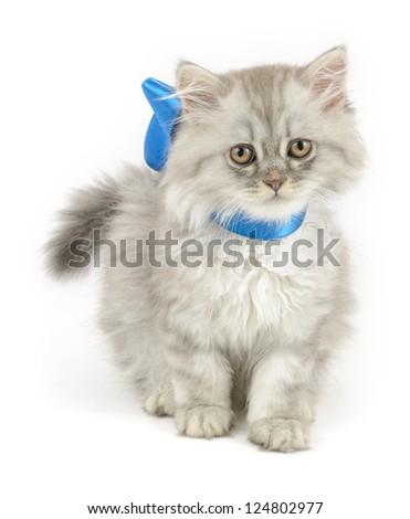 cute kitten (british longhair) with blue ribbon, over white background - stock photo
