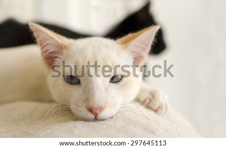 Cute kitten closeup is a white kitten with blue eyes looking like he might have a bad day with a black cat crossing his path in the background. - stock photo