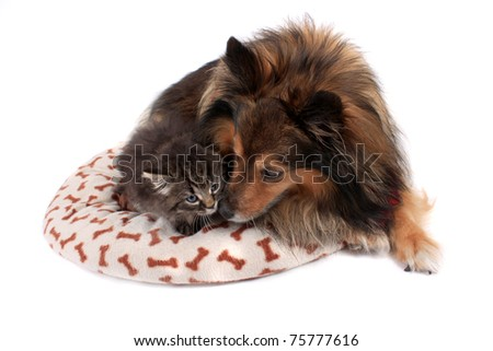 Cute kitten laying on a soft bed with a Sheltie dog on a white  background - stock photo