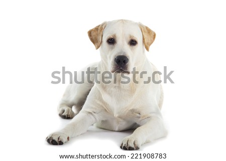cute Labrador dog isolated over white background - stock photo