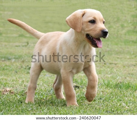 Cute labrador puppy running on the green grass - stock photo