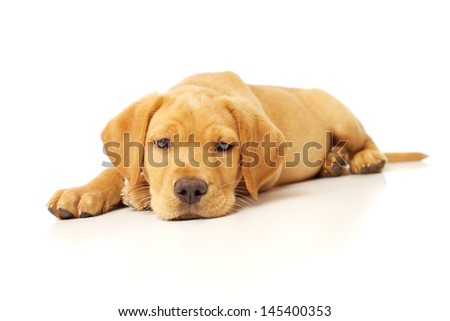 Cute Labrador Puppy Sleepily Resting on White Background - stock photo