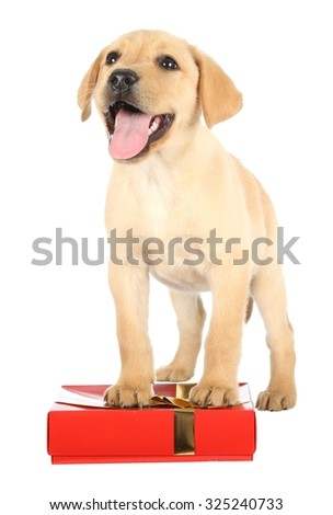 Cute Labrador Puppy with a Gift in a Red Box - stock photo