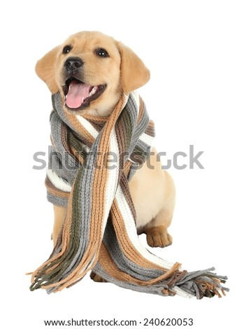 Cute labrador puppy with a woolen scarf around it's neck - stock photo