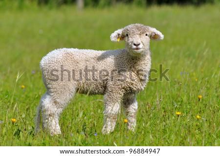 cute lamb - stock photo