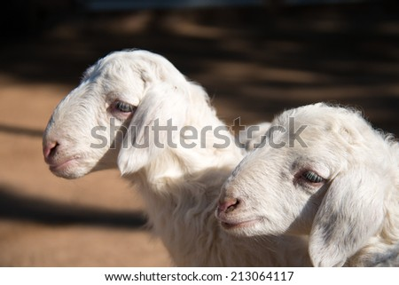 Cute Lambs Together - stock photo