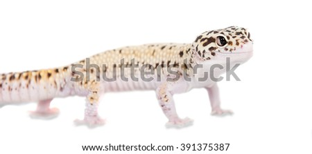 Cute Leopard Gecko isolated on white - stock photo