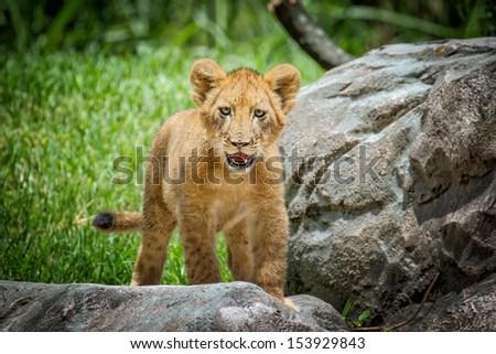 Cute Lion Cub - stock photo